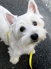 west_highland_terrier_tanakawho.jpg