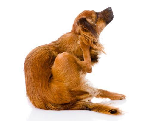 Warum Hunde Ständig Kratzen Oder Lecken Tipps Ursachen