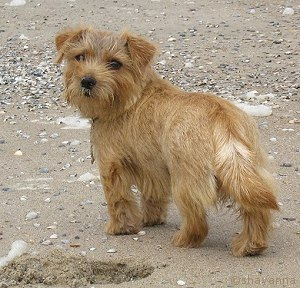 norfolk_terrier_mrsbeasley_shayanna.jpg